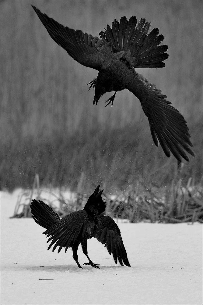 Drawn raven winter Nature on animals snow fight
