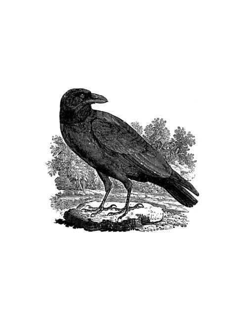 Drawn raven woodcut DEPOSIT for woodcut Raven DEPOSIT