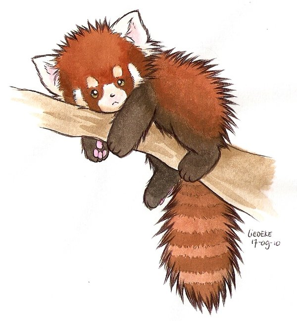 Drawn red panda Paint more Pin Panda class