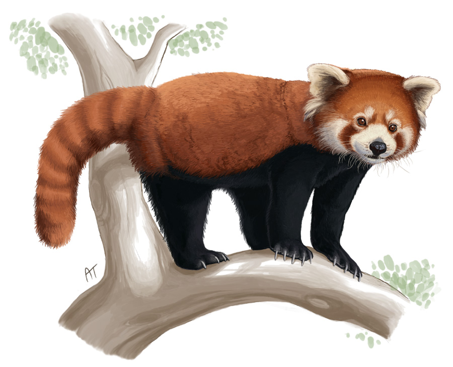 Drawn red panda On akelataka Panda Panda DeviantArt