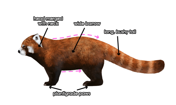 Drawn red panda Pandas How red Draw and