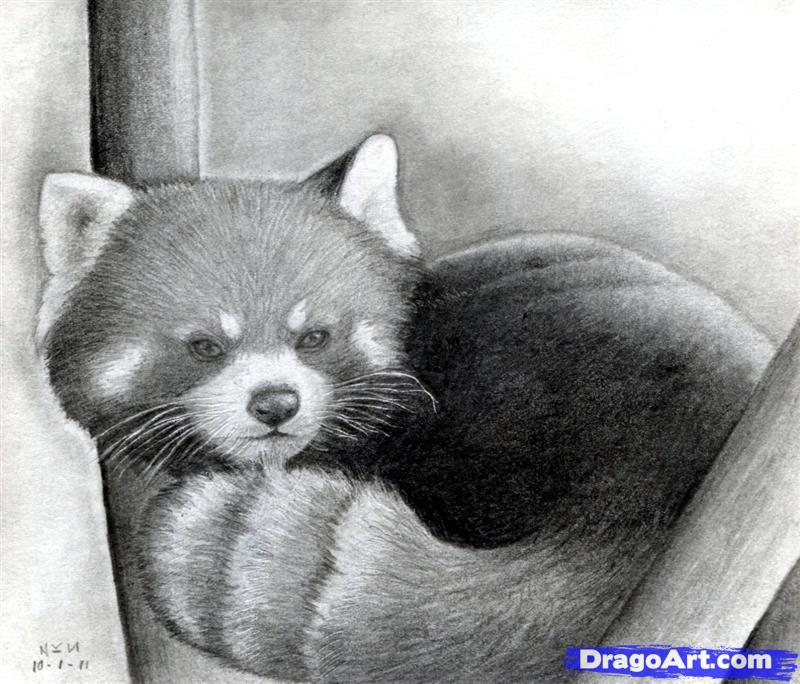 Drawn red panda A red draw How Red