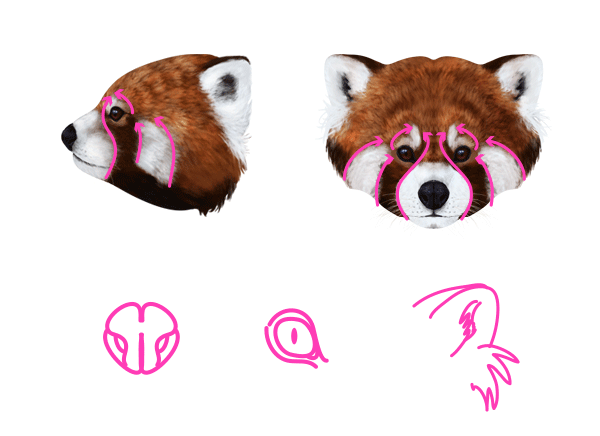 Drawn red panda Animals: to Pandas and How