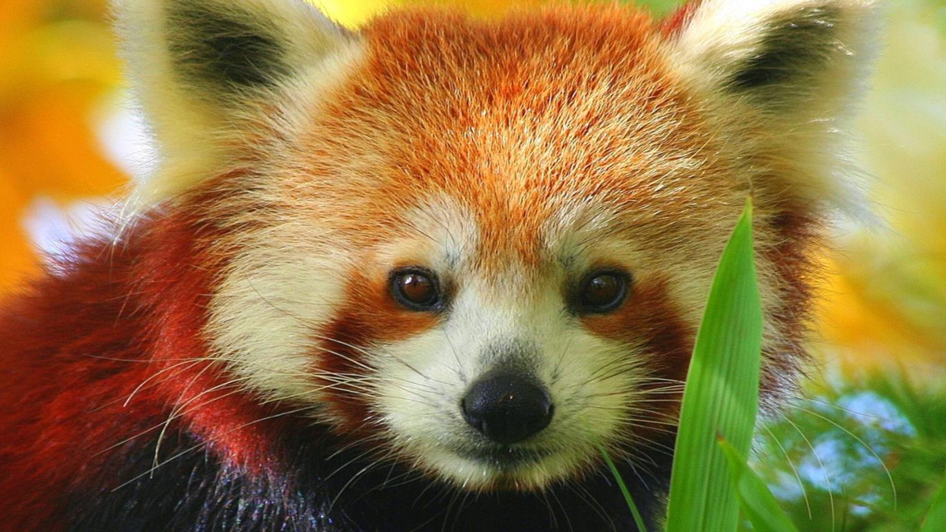 Drawn red panda adorable baby HD Red Drawing Image Panda