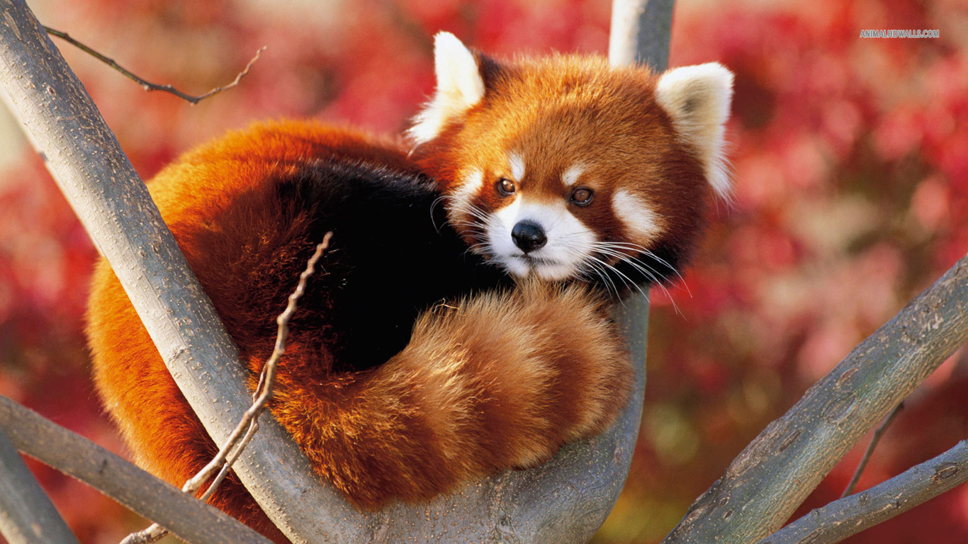Drawn red panda adorable baby Pandas Red GIF Cute Cute