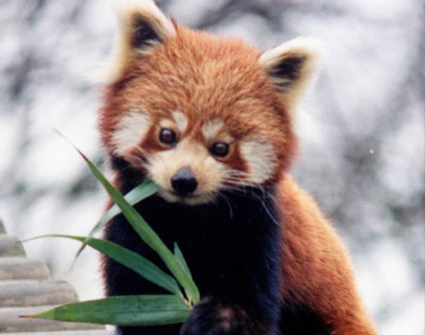 Drawn red panda adorable baby Cute Panda wallpaper Red Pandas