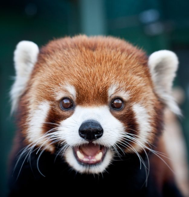 Drawn red panda china red Whoever culture red pop reacting