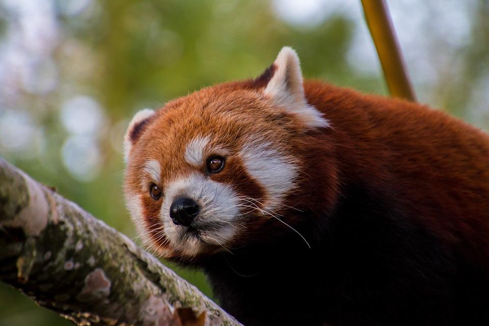 Drawn red panda endangered Panda Bamboo Endangered Free photo