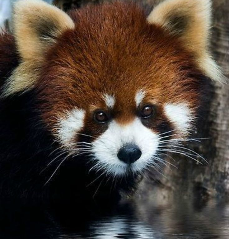 Drawn red panda endangered Are endangered mostly Best Zoos