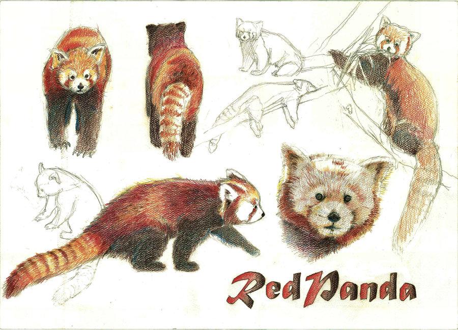 Drawn red panda endangered Pandas Dominish Pandas by on