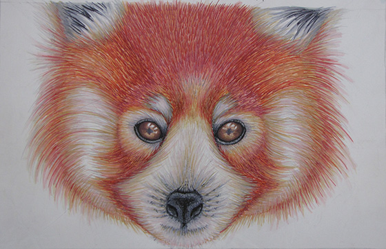 Drawn red panda endangered 3RD A WINDOW ARTISTS BY