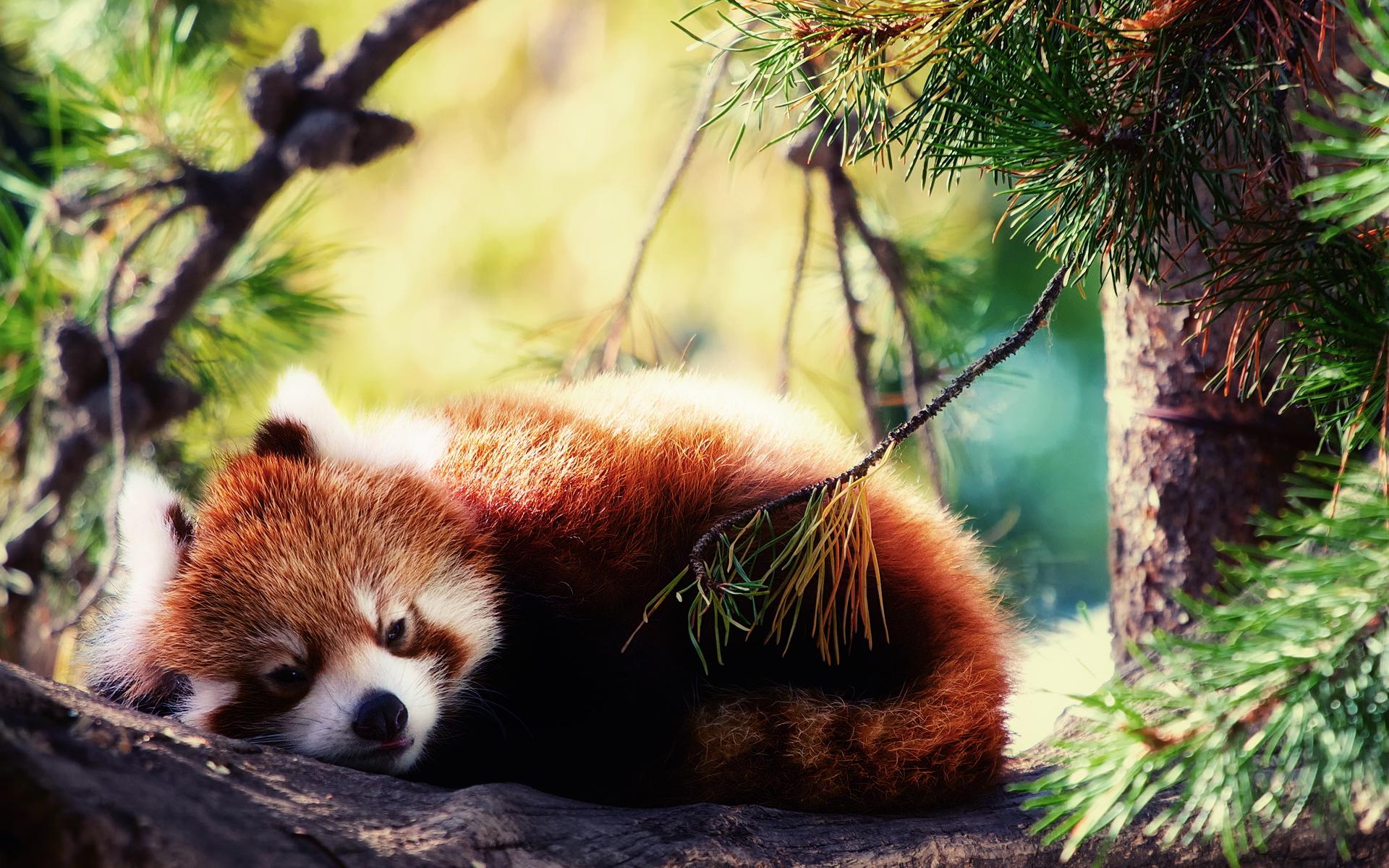 Drawn red panda epic Red Panda Panda Red Wallpaper