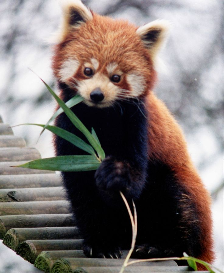 Drawn red panda indian fox The Red images Pinterest thing