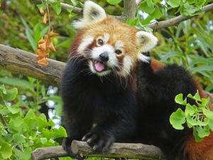 Drawn red panda indian fox Pandas 7 a Pandas species