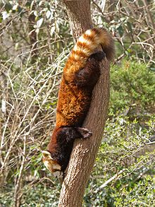 Drawn red panda indian fox First descending panda Red head