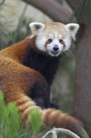 Drawn red panda indian fox Sheet Panda Red Fact