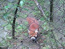 Drawn red panda indian fox Panda panda red Wikipedia Red