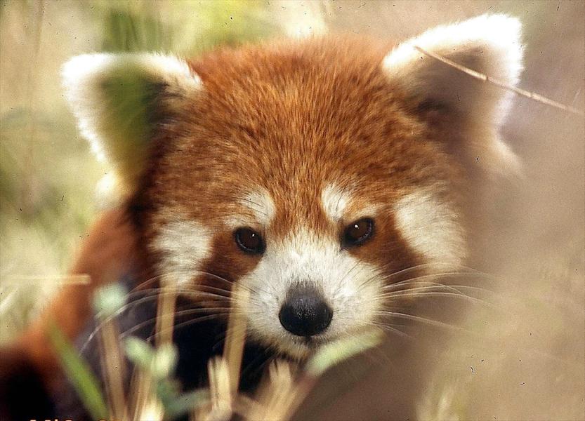 Drawn red panda indian fox ROJO best 30 images PANDA
