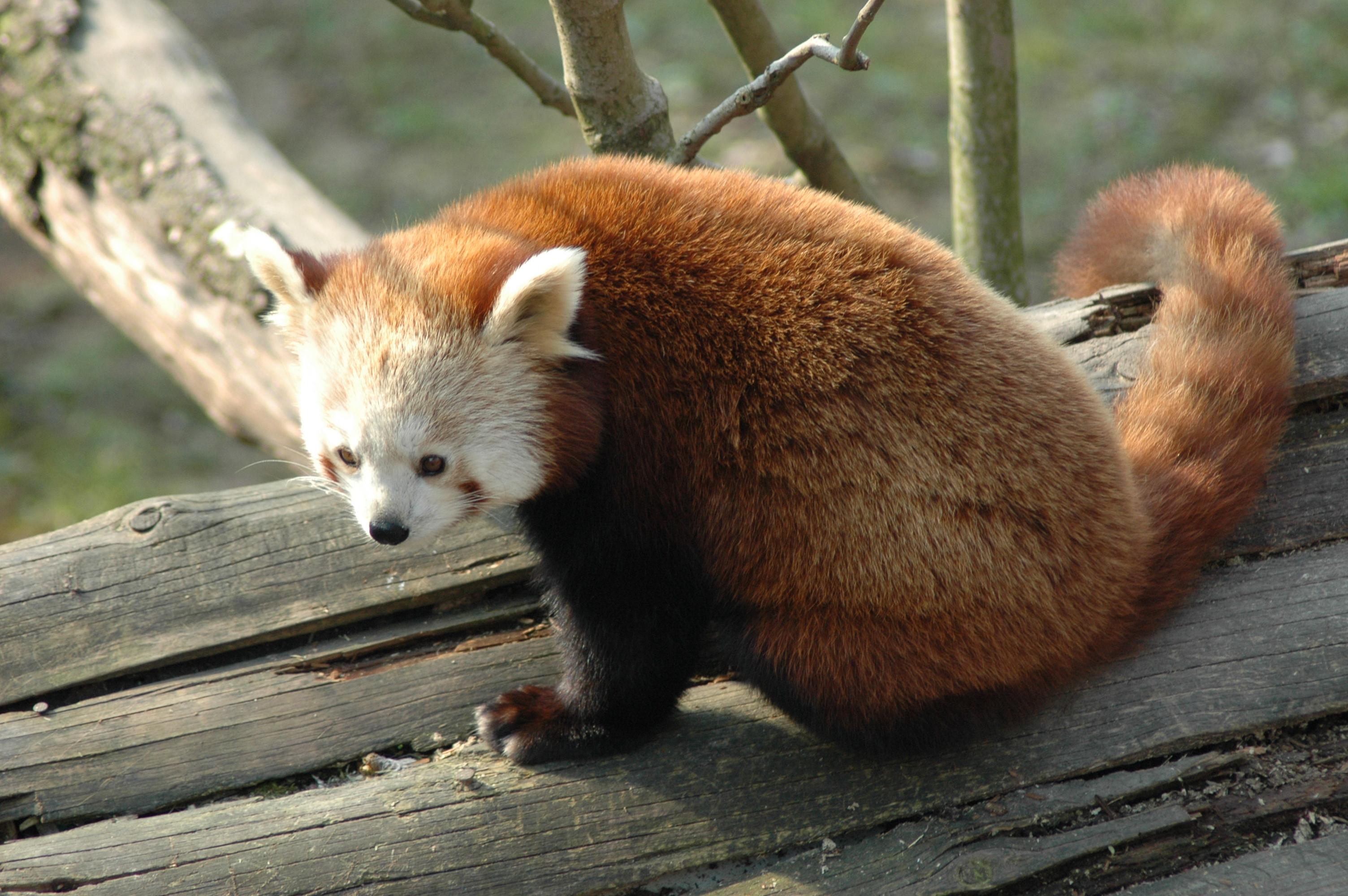 Drawn red panda indian fox Panda Red Wikiwand
