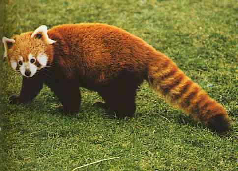 Drawn red panda indian fox Book Wikia Species by Panda