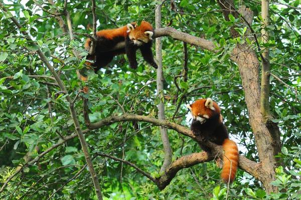 Drawn red panda its habitat This Pinterest Who Pin and