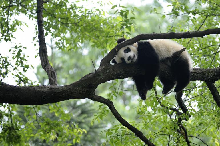 Drawn red panda its habitat · giant con Buscar gingante