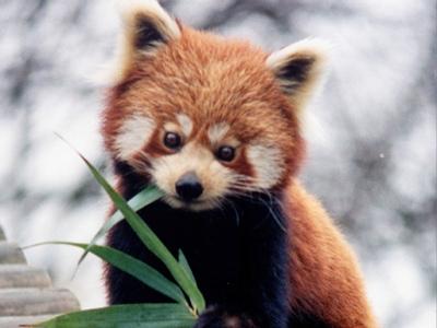 Drawn red panda its habitat Panda Images Kids for Panda