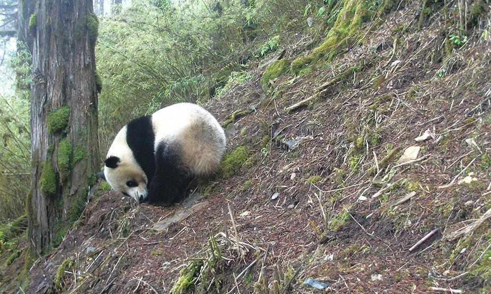 Drawn red panda its habitat Peek at Their Stories WWF