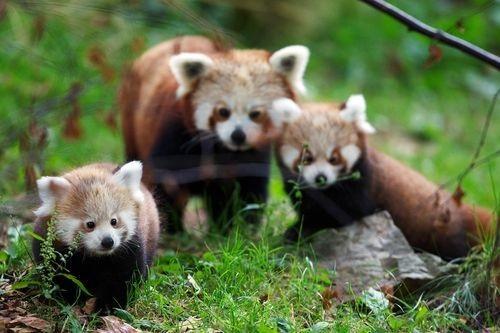 Drawn red panda its habitat A Red Valentines Panda RedPandaNetwork_Motherandbabies