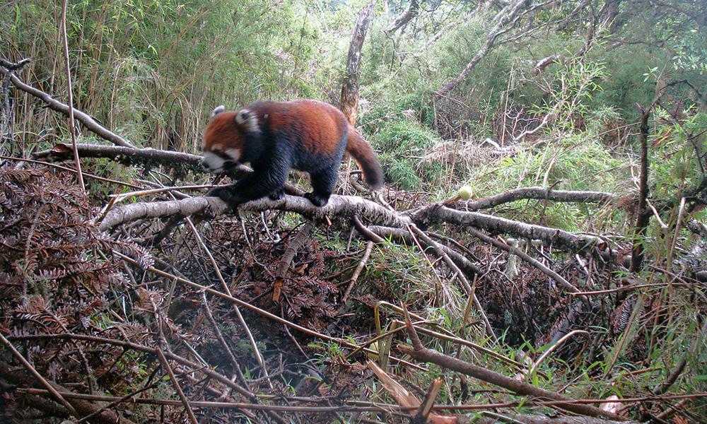 Drawn red panda its habitat Panda A Mountain Remote WWF