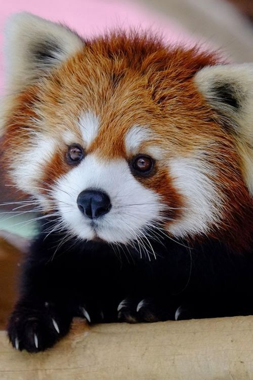 Drawn red panda japanese On Red Pin Pinterest and