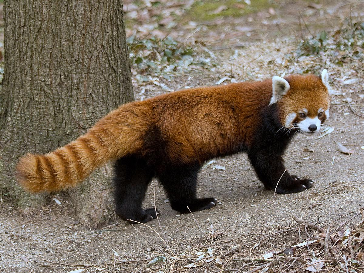 Drawn red panda koala  Wikipedia panda Red