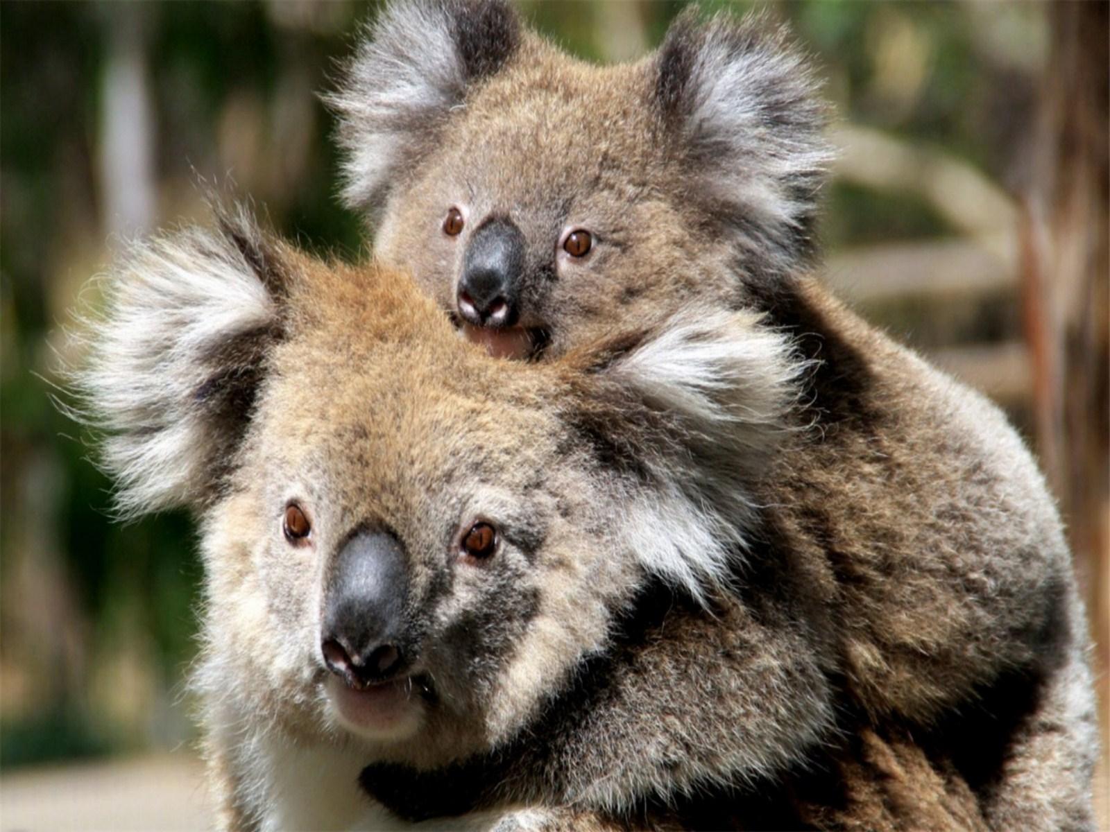 Drawn red panda koala Adorable koala HD paper Wallpapers