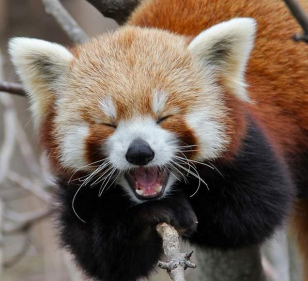 Drawn red panda koala Red Stuff and The animals