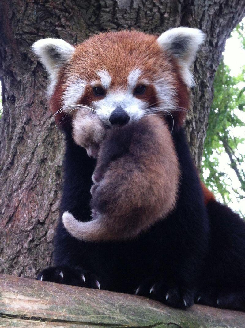Drawn red panda koala 4_DrusillasPark_RedPanda_Shyla_with Panda Red ZooBorns Mum