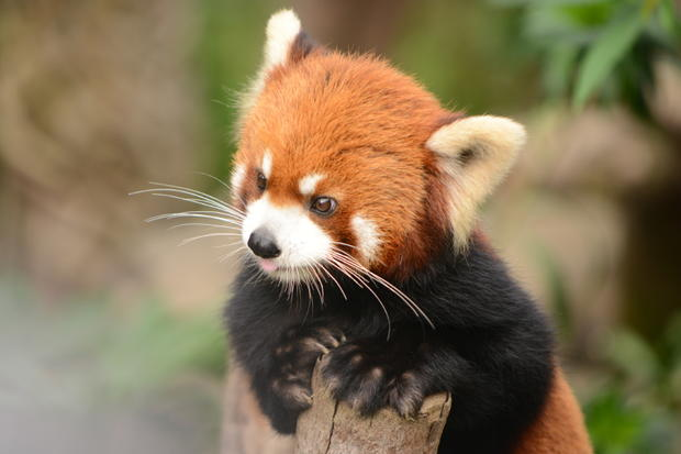 Drawn red panda national geographic Extended with Mental Pandas Facts