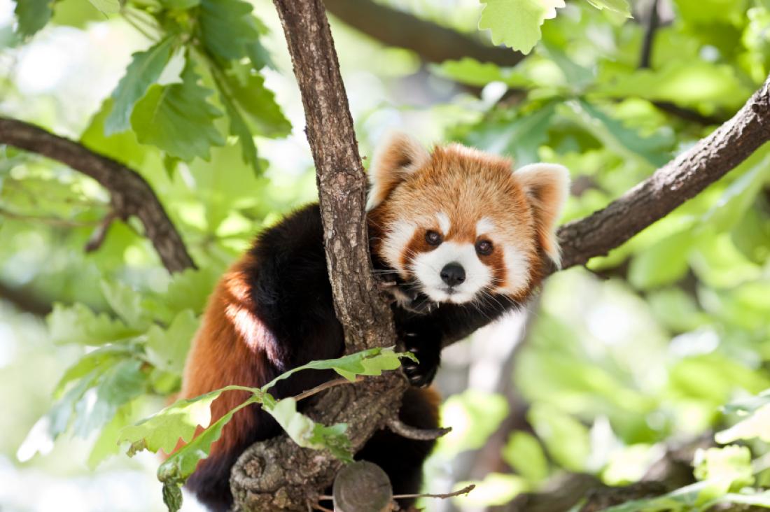 Drawn red panda national geographic Facts Furry Pandas istock pandas