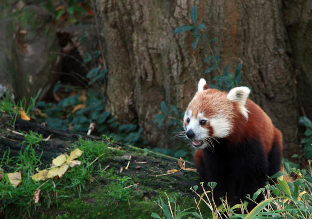 Drawn red panda national geographic Own Mental their Furry But