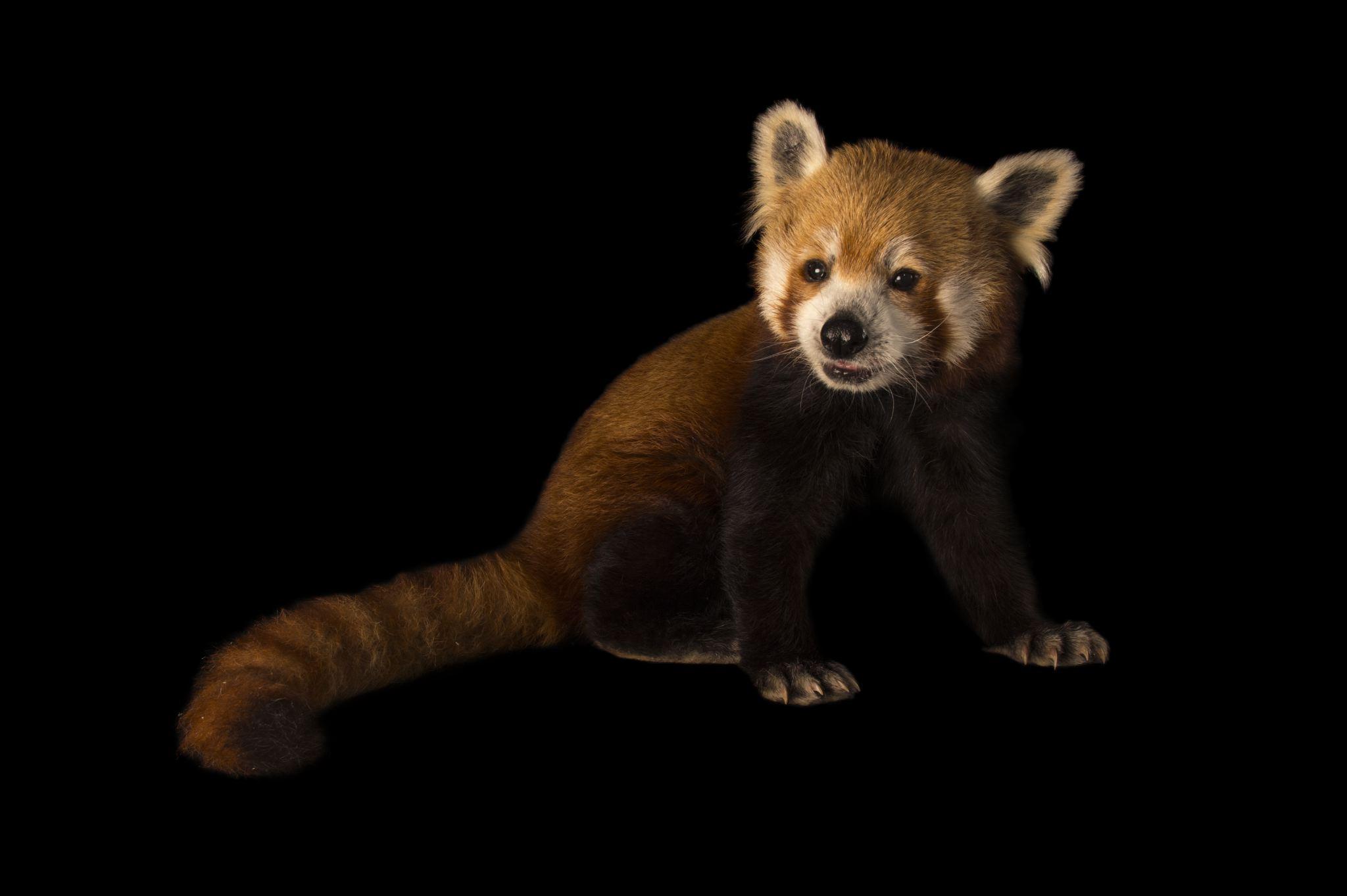 Drawn red panda national geographic Pics Panda 76 Red National