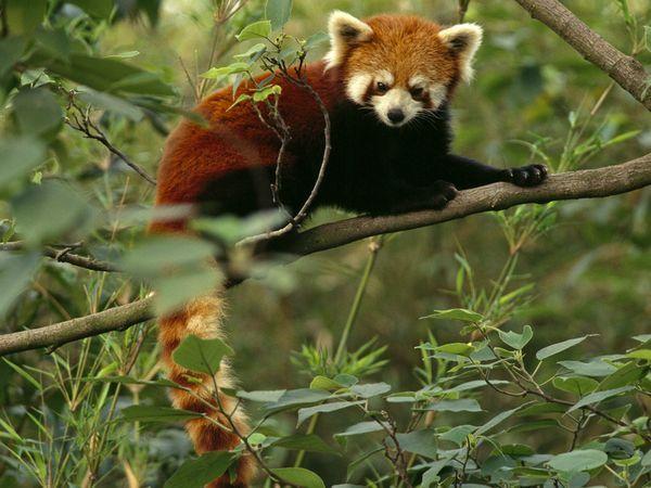 Drawn red panda national geographic Panda best Red Panda red