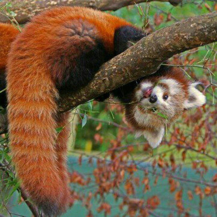 Drawn red panda national geographic Images pandas  best Red