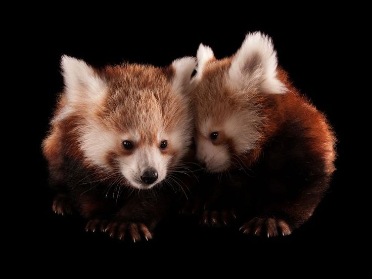 Drawn red panda national geographic On on more 68 Find