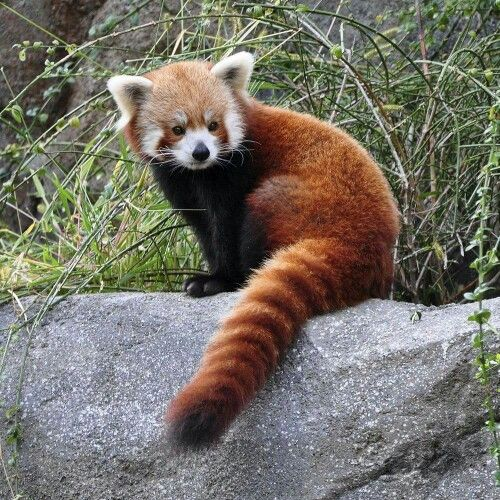 Drawn red panda national geographic On on more 493 Find