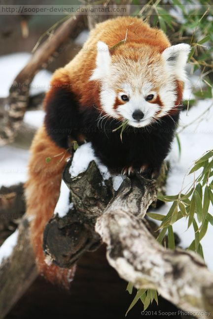 Drawn red panda national geographic On on more 908 Find