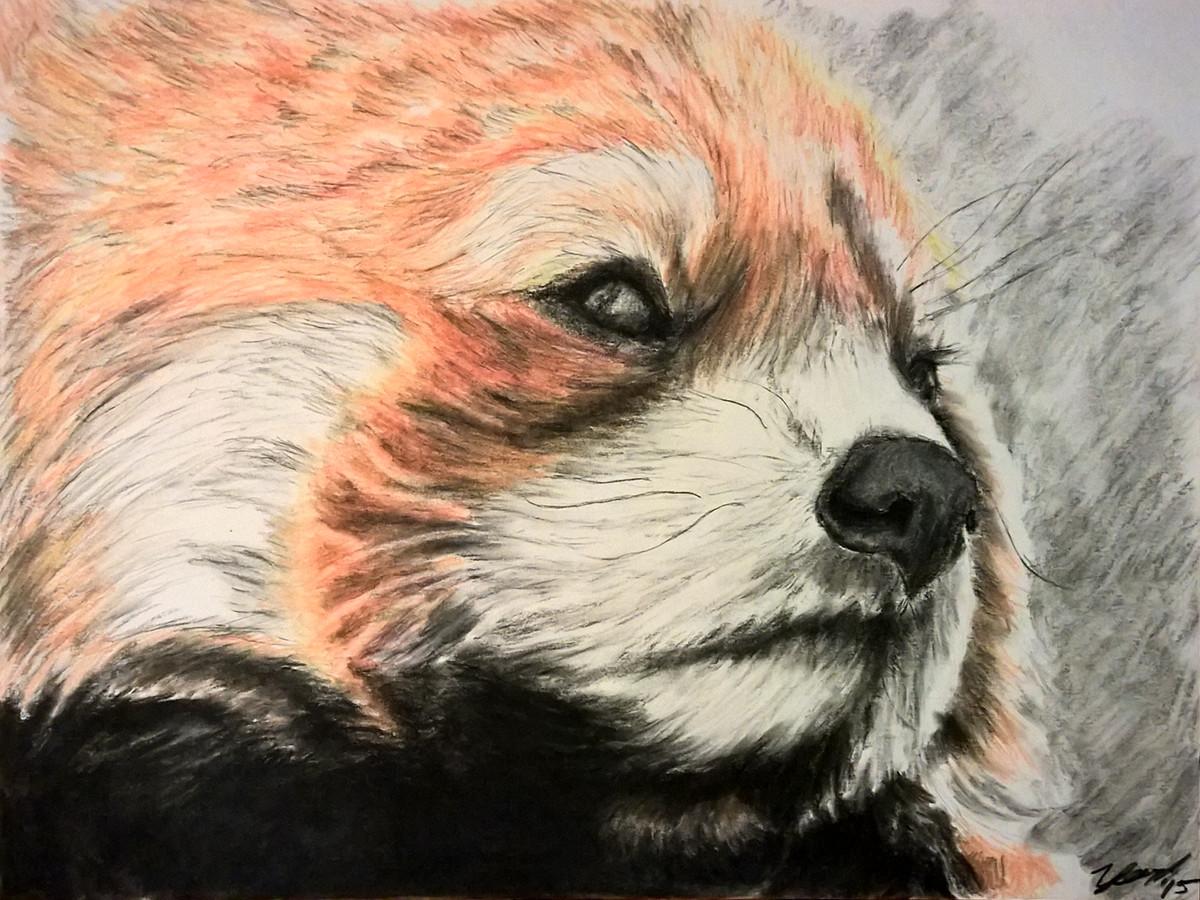 Drawn red panda pet Drawn chalk Panda smooth paper