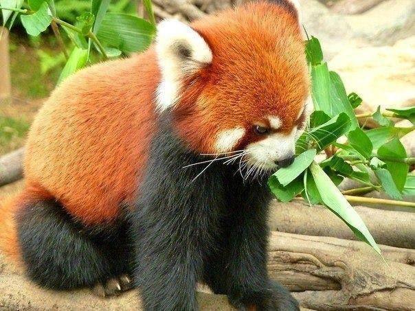 Drawn red panda pet Pandas as red Best Red