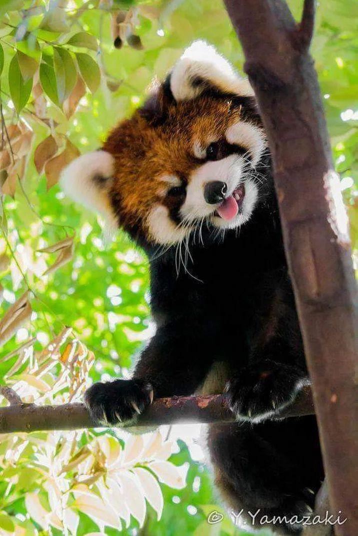 Drawn red panda pet On Panda this Red images