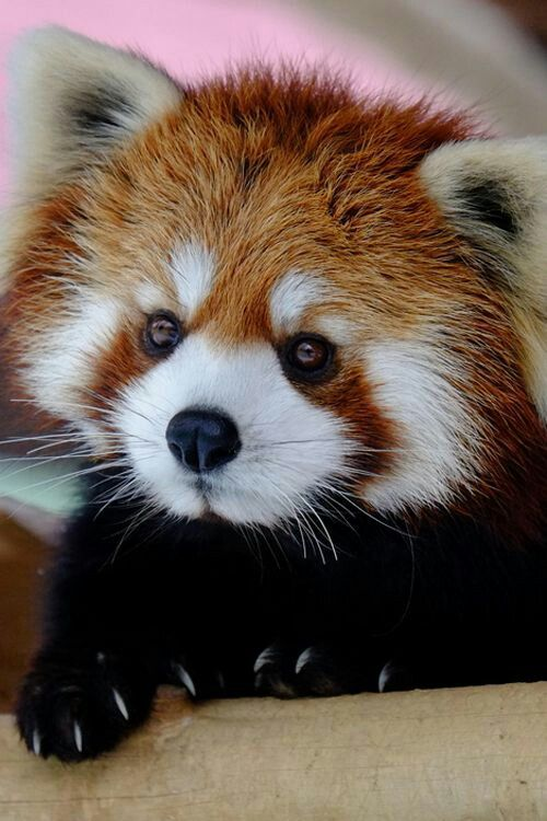 Drawn red panda really Images best 62 Panda on
