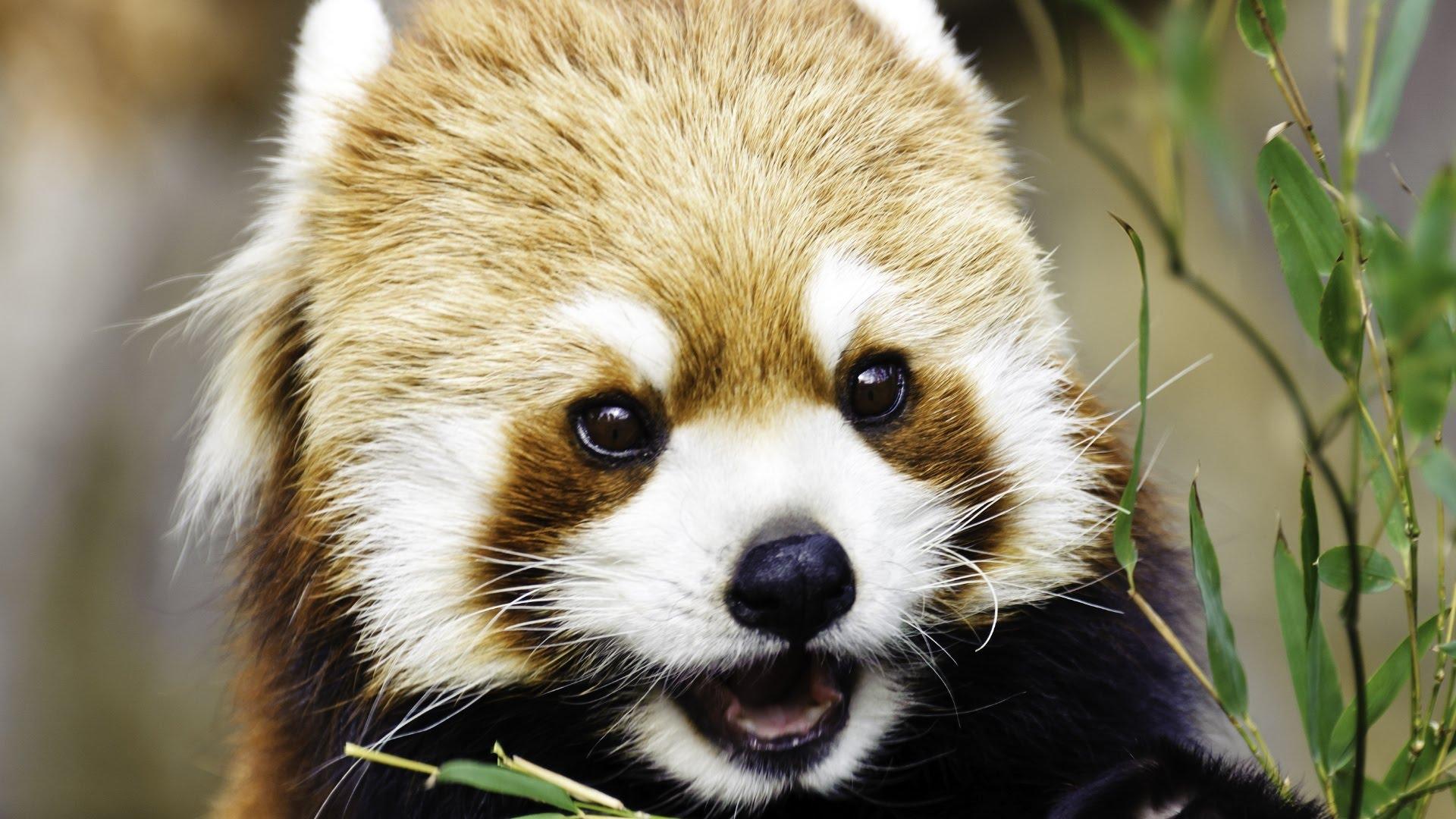 Drawn red panda sad animal PANDAS Cute eating YouTube RED