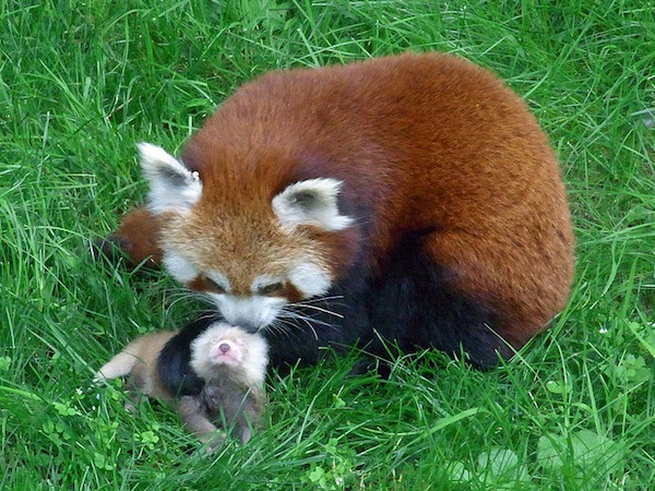 Drawn red panda sad animal Scientific 7 Know American Red